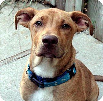 Vizsla Mix Dog for adoption in Independence, Missouri - RJ