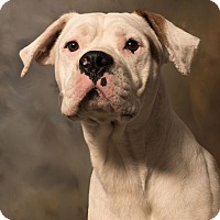 Adopt A Pet :: Rocky BoxerAmBull - St. Louis, MO