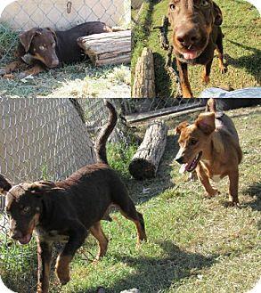 Doberman Pinscher/German Shepherd Dog Mix Dog for adoption in Ponca City, Oklahoma - Boomer