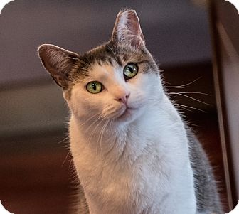 Domestic Shorthair Cat for adoption in Vancouver, British Columbia - Micky