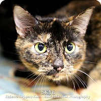 Domestic Shorthair Cat for adoption in Appleton, Wisconsin - Skye