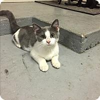 Domestic Shorthair Kitten for adoption in Austin, Texas - PattyCake