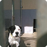 Old English Sheepdog Mix Dog for adoption in Staunton, Virginia - Judge