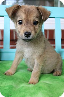 Pomeranian/Beagle Mix Puppy for adoption in Allentown, Virginia - Deeks