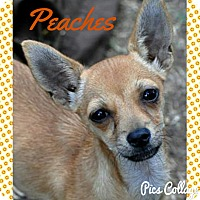 Adopt A Pet :: Peaches - Lodi, CA