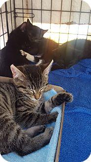 Domestic Shorthair Kitten for adoption in Roscoe, New York - Bonnie