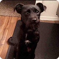 Miniature Schnauzer Mix Dog for adoption in San Antonio, Texas - LUCKY