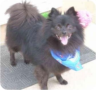 Rufus | Adopted Dog | Overland Park, KS | Pomeranian ...