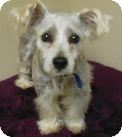 Maltese Mix Puppy for adoption in Gary, Indiana - Wayne