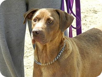 Chesapeake Bay Retriever/Labrador Retriever Mix Dog for adoption in Clinton, Maine - Bailey