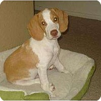 Adopt A Pet :: Hooper - Phoenix, AZ