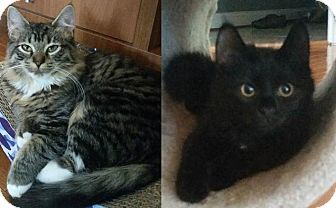 Domestic Mediumhair Cat for adoption in Gainesville, Virginia - Naomi and Nellie