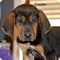 Adopt A Pet :: Cooter~meet me~ - Glastonbury, CT