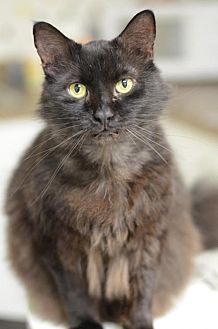 Domestic Longhair Cat for adoption in Atlanta, Georgia - Beaners	151901