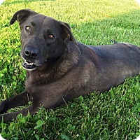 Labrador Retriever/German Shepherd Dog Mix Dog for adoption in Russellville, Kentucky - Daisy