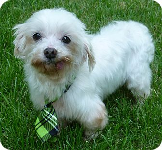 Overland Park Ks Maltese Meet Hugo A Dog For Adoption