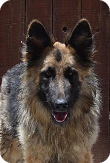 German Shepherd Dog Dog for adoption in San Diego, California - Faye