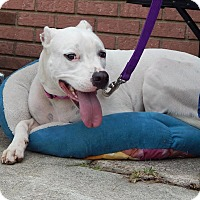American Bulldog/Boxer Mix Dog for adoption in Tallahassee, Florida - Pearl