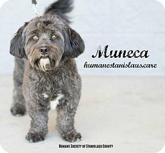 Schnauzer (Miniature)/Lhasa Apso Mix Dog for adoption in Modesto, California - Muneca