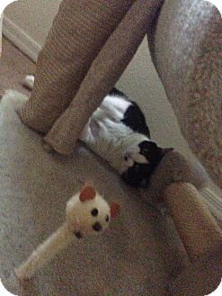 Domestic Shorthair Cat for adoption in Mesa, Arizona - OREO