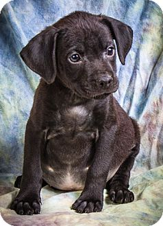Labrador Retriever/Boxer Mix Puppy for adoption in Anna, Illinois - HUXLEY