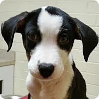 Adopt A Pet :: Bruno - Charlotte, NC