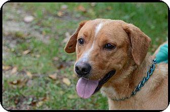 Labrador Retriever/Terrier (Unknown Type, Medium) Mix Dog for adoption in Brick, New Jersey - Nick