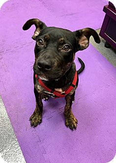 Rottweiler Mix Puppy for adoption in Cleveland, Ohio - Maizey