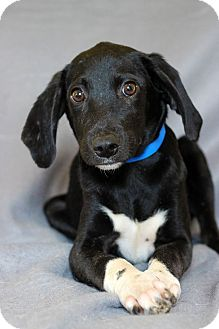 Hound (Unknown Type) Mix Puppy for adoption in Waldorf, Maryland - Remmy