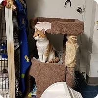 Domestic Shorthair Cat for adoption in Phoenix, Arizona - ZOEY ZANE