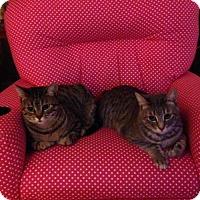 Domestic Shorthair Cat for adoption in Council Bluffs, Iowa - 3530 Snowball & Shy - AB