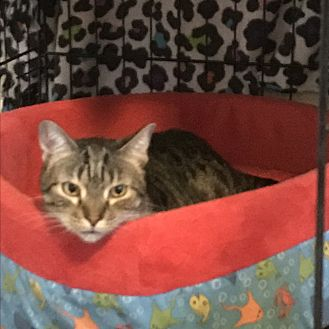 Domestic Shorthair Cat for adoption in Lauderhill, Florida - TC