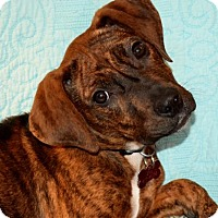 Adopt A Pet :: Carrie - Grafton, WI