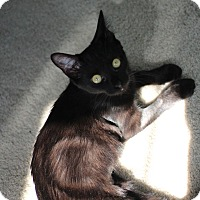 Domestic Shorthair Kitten for adoption in Richmond, Virginia - Inki