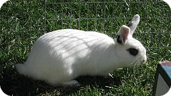 Dwarf Hotot Mix for adoption in Bonita, California - Oliver