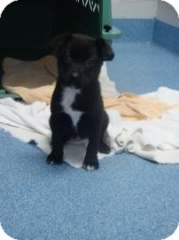 Labrador Retriever Mix Puppy for adoption in Gainesville, Florida - Hermione