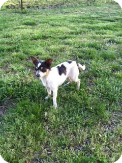 Chihuahua Dog for adoption in Hazard, Kentucky - Lila Rain