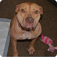 Adopt A Pet :: Big Red - Westfield, IN