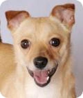 Chihuahua Mix Dog for adoption in Chicago, Illinois - Charlie