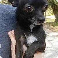 Adopt A Pet :: Tinkerbell - Gainesville, FL