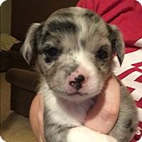 Adopt A Pet :: Kensington - Henderson, NV