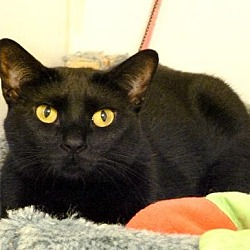 Photo 1 - Domestic Shorthair Cat for adoption in Westville, Indiana - Satina