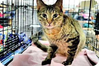 Domestic Shorthair Cat for adoption in Hopkinsville, Kentucky - Tinkerbell