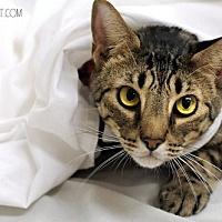 Domestic Shorthair Cat for adoption in Baton Rouge, Louisiana - Henry