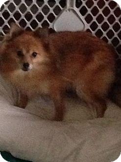 Pomeranian Dog for adoption in Butler, Ohio - Savannah