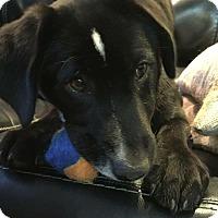 Adopt A Pet :: Diamond - Joliet, IL