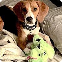 Adopt A Pet :: Elliot - Houston, TX