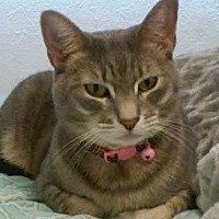Domestic Shorthair Cat for adoption in Albuquerque, New Mexico - Kira