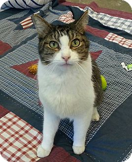 Domestic Shorthair Cat for adoption in Shinnston, West Virginia - Mickey