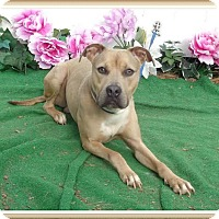 American Pit Bull Terrier/Labrador Retriever Mix Dog for adoption in Marietta, Georgia - BISCUIT- See Video!